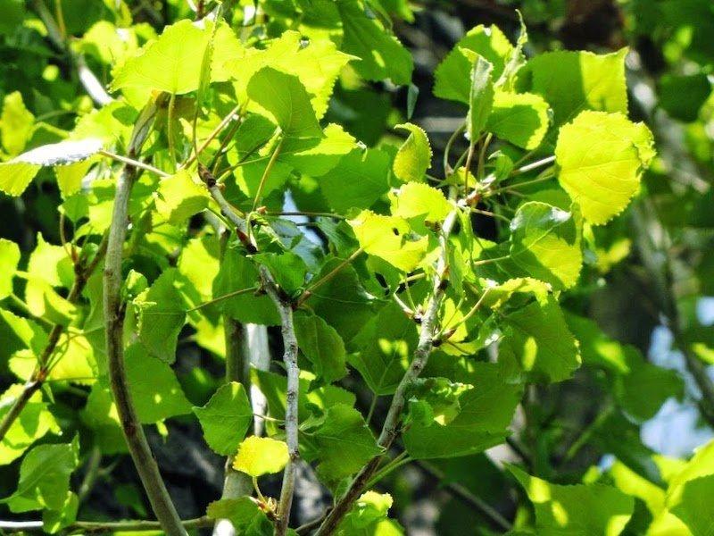 Incentivare la coltivazione del pioppo in Italia